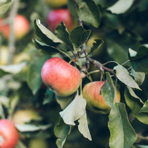 Mansfields Cox Apples