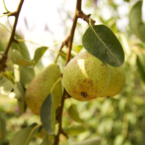 Mansfields Conference Pear