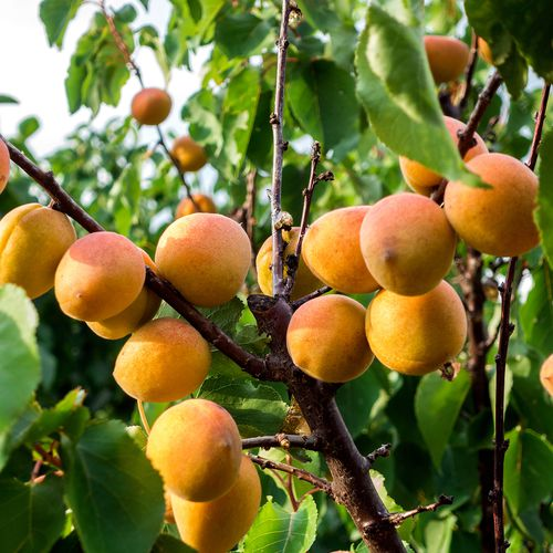 Mansfields Farbaly Apricots