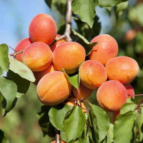 Mansfields Faralia Apricot