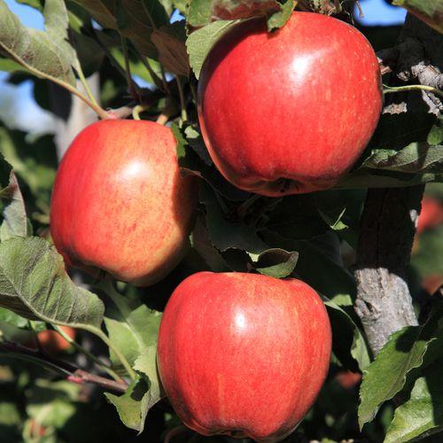 Mansfields Gala Apples