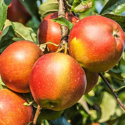 Mansfields Smitten Apples