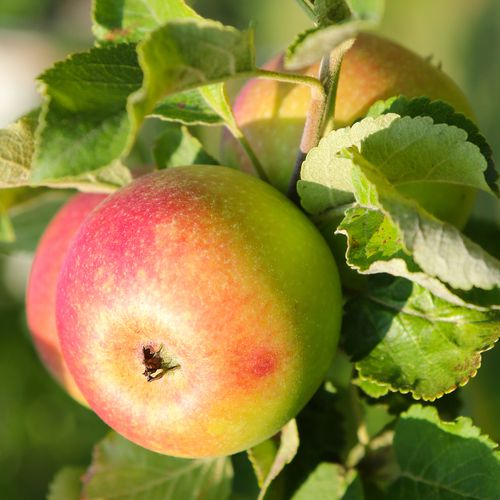 Mansfields Early Windsor Apples