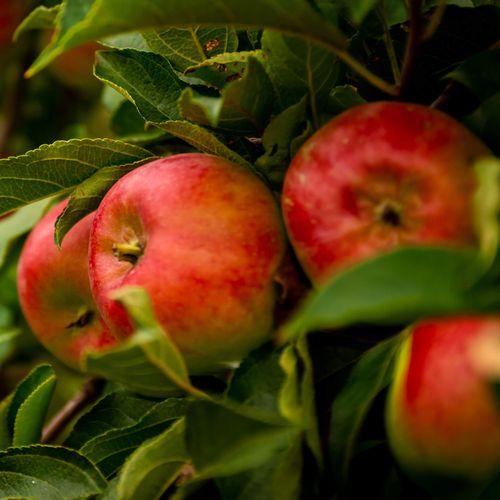 Mansfields Empire Apples