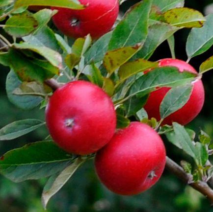 Mansfields Jazz Apples