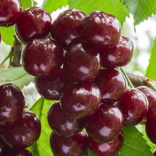 Mansfields Regina Cherries