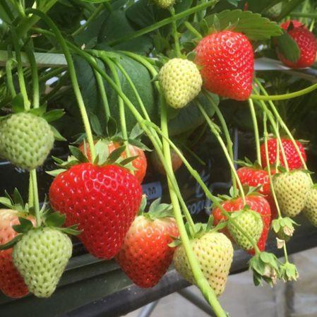 Mansfields Driscoll's Katrina Strawberries