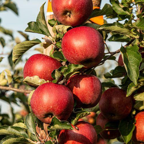 Mansfields Braeburn Apples